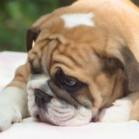 Cystinuria in Bulldogs