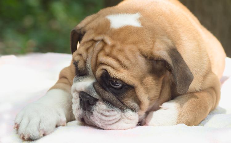 Cystinuria in Bulldogs