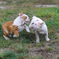 Bulldog Exercise - Wrestling puppies