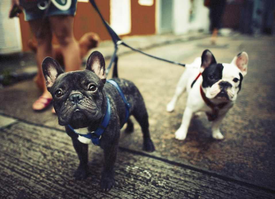Blue French Bulldogs Taking a Walk