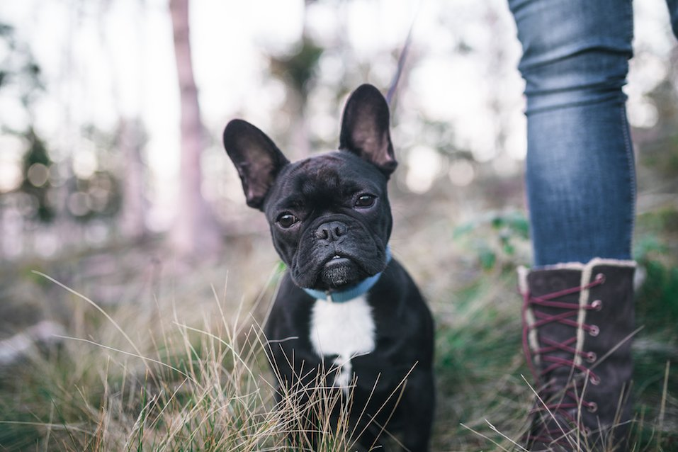 13 things you did not know about the Blue french Bulldog