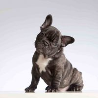 The Best Food for a French Bulldog - A Look at the top 7 brands best food for a french bulldog