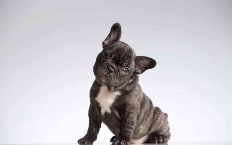The Best Food for a French Bulldog – A Look at the top 7 brands