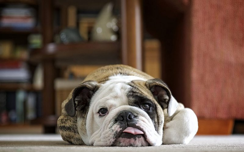 Best Carpet Cleaner For Pets [6 Great Options]
