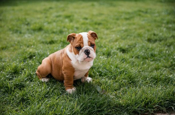 11 Things You Should Know About English Bulldog Puppies