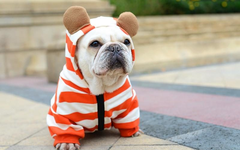 French Bulldog Clothes – 20 Great Outfits For Pups And Owners