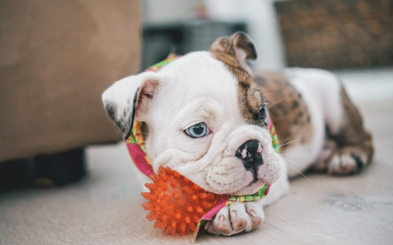 10 Best Bulldog Toys [From Plush to Chew Toys!]